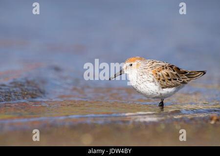 Western Sandpiper (Calidris mauri) Marin County, California, USA - Stock Photo