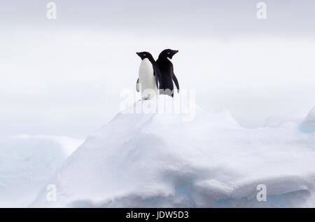 Adelie Penguins back to back on ice floe in the southern ocean, 180 miles north of East Antarctica, Antarctica - Stock Photo