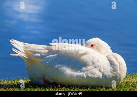 White goose hiding his head resting on the grass.Foie gras and goose liver, tales of the Grimm brothers - Stock Photo
