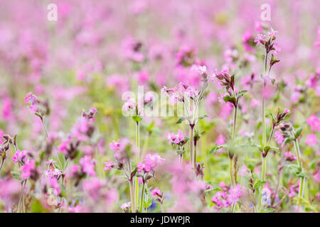 Campion meadow on Skomer island in Summer. Full frame pink flowers. Pembrokeshire, May - Stock Photo