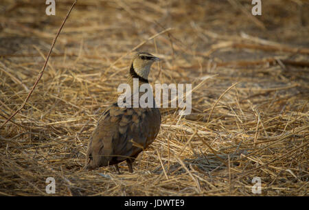 Yellow throated sandgrouse - Stock Photo