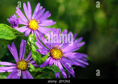 aster in the morning with dew drops - Stock Photo