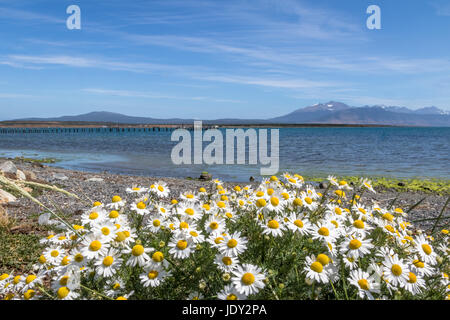 Chamomile Flowers and Almirante Montt Gulf in Patagonia - Puerto Natales, Magallanes Region, Chile - Stock Photo