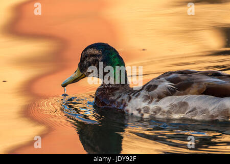 A mallard bird on the move for early morning meal - Stock Photo