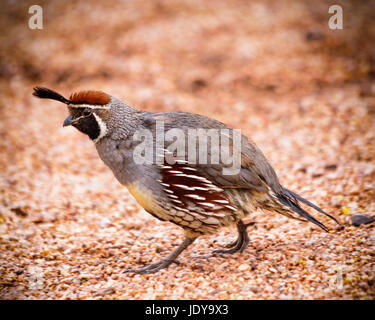 Desert Quail - Stock Photo