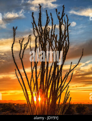Ocotillo Sunset - Stock Photo