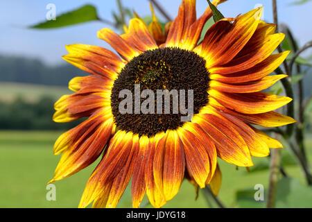Nahaufnahme mehrfaerbige Sonnenblume - Stock Photo