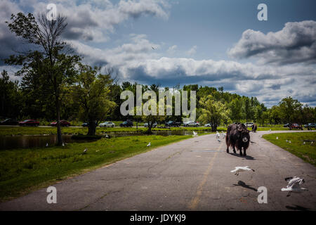 Editorial - July 29, 2014. Lonely Cow during the Car Circuit Where you can touch and feed many kind of animals staying - Stock Photo