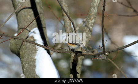 Tufted Titmouse (Baeolophus bicolor) perched on a branch of a maple tree in winter - Stock Photo