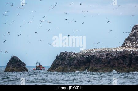 Sightseers on Seafari rigid inflatable boat rib, Bass Rock, Firth of Forth, Scotland, UK, to see gannets from Scottish - Stock Photo