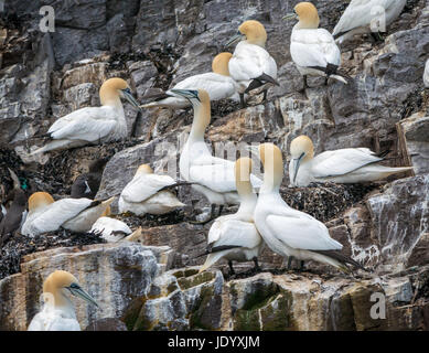 Zoomed view of pairs of Northern gannets, Sula bassana, nesting on Bass Rock, Firth of Forth, Scotland, UK, largest - Stock Photo