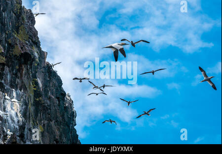 Zoomed view of gannets, Sula bassana, flying around Bass Rock, Firth of Forth, Scotland, UK, largest colony of Northern - Stock Photo