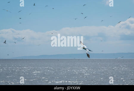 Zoomed view of flying gannet, Sula bassana, Firth of Forth, Scotland, UK, near Bass Rock, largest colony of Northern - Stock Photo