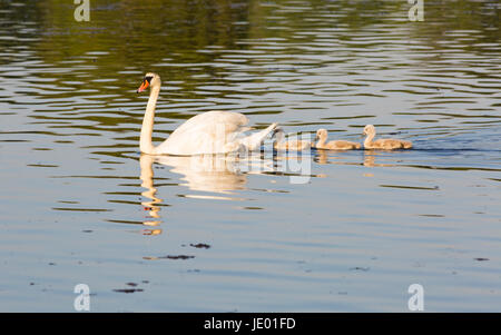 Poole, Dorset, UK. 21st June, 2017. UK weather: Swan, cygnus olor, and cygnets swimming on lake in the evening light - Stock Photo