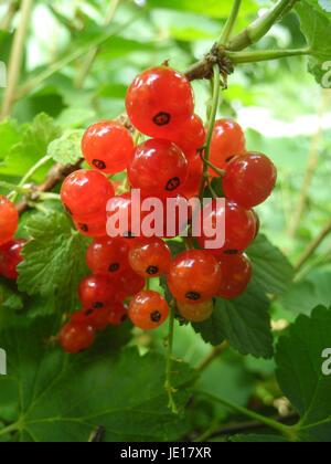 Rote Johannisbeeren, Rote Johannisbeere, johannisbeere, johannisbeeren, rot, frucht, früchte, obst, garten, ernährung, - Stock Photo