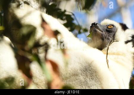 Verreaux's sifaka (Propithecus verreauxi) in Kirindy National Park, Madagascar - Stock Photo