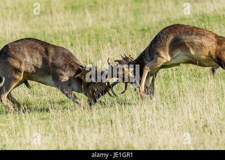 Rutting Fallow Deer - Stock Photo