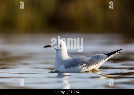 natural black-headed gull (Larus ridibundus) swimming on the water surface - Stock Photo