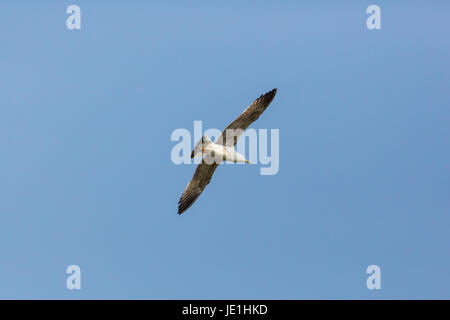 young natural yellow-legged gull (Larus michahellis) in flight blue sky - Stock Photo