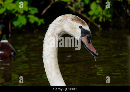 close-up of water droplets falling from the beak of a Cygnet. - Stock Photo