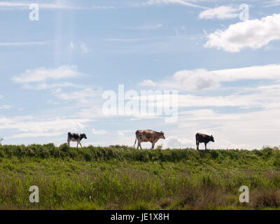 three cows in the distance walking along a path through the countryside grasslad with the sky in the background - Stock Photo