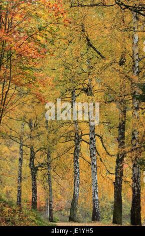 autumnal birchavenue - Stock Photo