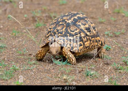 Leopard tortoise (Stigmochelys pardalis), feeding on grass, Kruger National Park, South Africa - Stock Photo