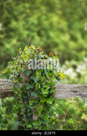 Shallow depth of field landscape image of fence post covered with ivy in countryside - Stock Photo