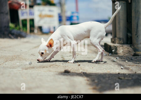 White chihuahua dog snuff on the ground under sunlight - Stock Photo