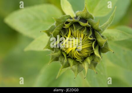 half-open sunflower / semi-open sunflower - Stock Photo