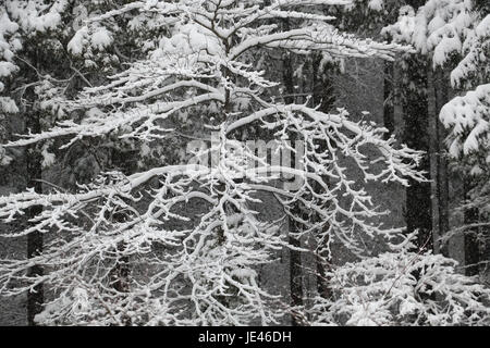 Leafless tree, its branches covered with white snow, against a tall cedar grove after a snowstorm in Japan with - Stock Photo