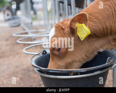 young brown calf with yellow ear tags drinks from black bucket - Stock Photo
