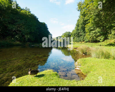 A Mallard stands on the banks of the River Lathkill on a bright autumn morning. - Stock Photo