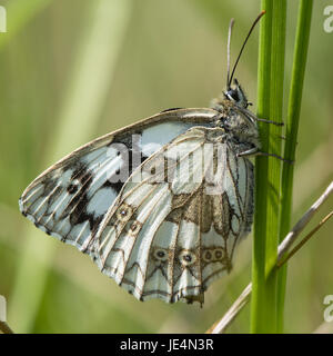 Marbled white butterfly (Melanargia galathea) on grass. Underside of black and white chequered butterfly in the - Stock Photo