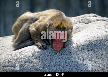 This Japanese Macaque (Macaca fuscata) is enjoying the sun lying on a huge rock. - Stock Photo