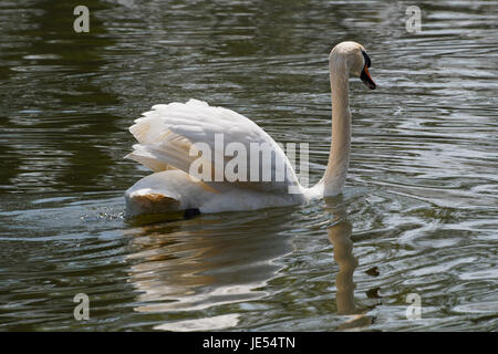 Close up of a Mute Swan swimming away from the camera. - Stock Photo