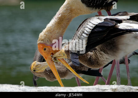 A painted stork (Mycteria leucocephala) is feeding 2 juvenile birds. - Stock Photo