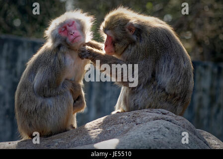 Japanese macaque (Macaca fuscata) are maintaining their social relationships within the group by grooming each other. - Stock Photo