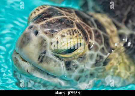 A green sea turtle (Chelonia mydas) puts the head out of the water to breath. The Green Sea Turtle is living in - Stock Photo