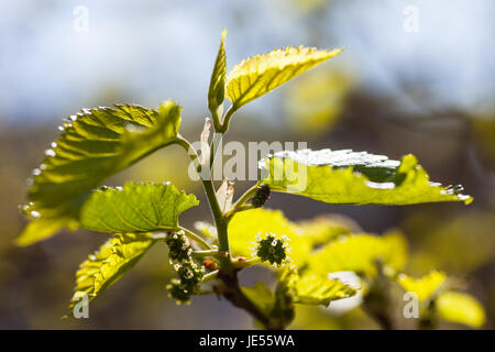 Green branch of the mulberry tree with unripe berries. - Stock Photo