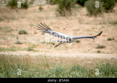 Secretary bird flying away in the Kalagadi Transfrontier Park, South Africa. - Stock Photo