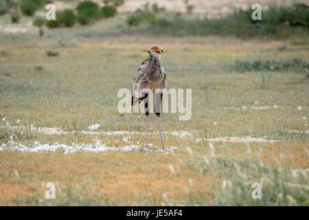 Secretary bird on a kill in the grass in the Kalagadi Transfrontier Park, South Africa. - Stock Photo
