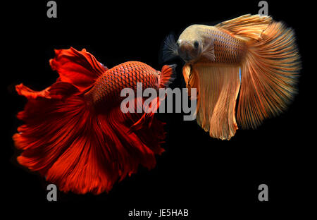 Fancy red and orange Betta or Saimese fighting fish swiming and show the motion of dress fin. - Stock Photo