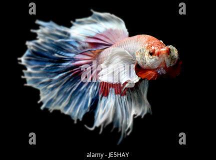 Betta or Saimese fighting fish swiming and show the motion of dress fin photo in flash studio lighting. - Stock Photo