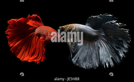 Fancy red and silver gray Betta or Saimese fighting fish swiming and show the motion of dress fin. - Stock Photo