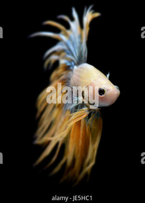 Crowntail Betta or Saimese fighting fish swiming and show the motion of dress fin photo in flash studio lighting. - Stock Photo