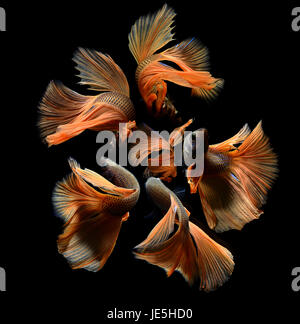 Orange fancy betta or Saimese fighting fish swiming and show the motion of dress fin photo in flash studio lighting. - Stock Photo