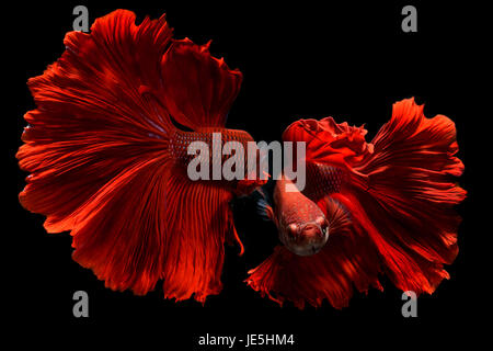 Fancy red Betta or Saimese fighting fish swiming and show the motion of dress fin. - Stock Photo