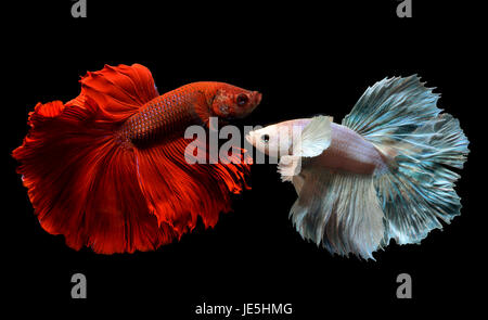 Fancy red and silver Betta or Saimese fighting fish swiming and show the motion of dress fin. - Stock Photo