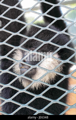 Close-up of a Hooded Capuchin Monkey contemplating life behind bars in a big city zoo, - Stock Photo